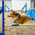 Dyl is Pete Gibbons' 4 year old Sheltie